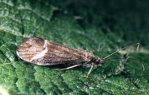 Apataniidae