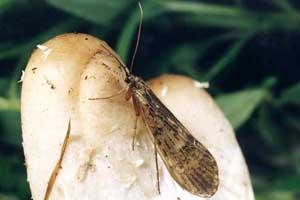 Phryganeidae