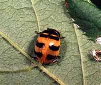 Coccinella trifasciata