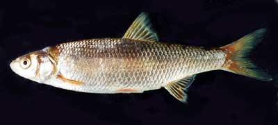 Елец обыкновенный относится к числу стайных рыб.  Тело ельца имеет...