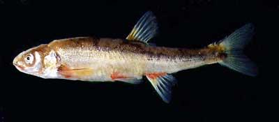 Phoxinus phoxinus, photo S.Didorenko